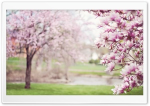 Magnolia HD Wide Wallpaper for Widescreen