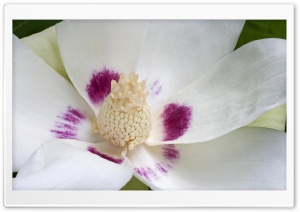 Magnolia Ashei HD Wide Wallpaper for Widescreen