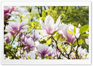 Magnolia Blossom, Spring Flowers HD Wide Wallpaper for 4K UHD Widescreen desktop & smartphone