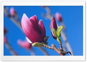 Magnolia Denudata Desr HD Wide Wallpaper for 4K UHD Widescreen desktop & smartphone