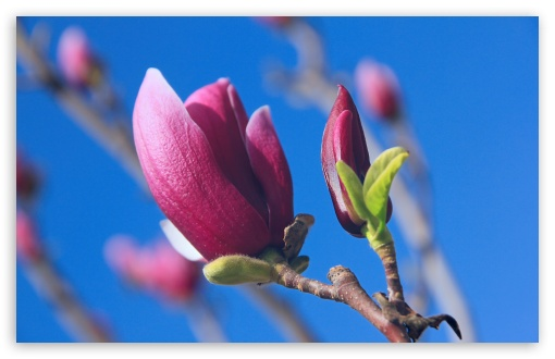 Magnolia Denudata Desr ❤ 4K UHD Wallpaper for Wide 16:10 5:3 Widescreen WHXGA WQXGA WUXGA WXGA WGA ; 4K UHD 16:9 Ultra High Definition 2160p 1440p 1080p 900p 720p ; UHD 16:9 2160p 1440p 1080p 900p 720p ; Standard 3:2 Fullscreen DVGA HVGA HQVGA ( Apple PowerBook G4 iPhone 4 3G 3GS iPod Touch ) ; Mobile 5:3 3:2 16:9 - WGA DVGA HVGA HQVGA ( Apple PowerBook G4 iPhone 4 3G 3GS iPod Touch ) 2160p 1440p 1080p 900p 720p ;