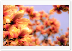 Magnolia Petals HD Wide Wallpaper for Widescreen