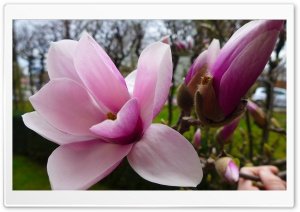 Magnolia Tree HD Wide Wallpaper for 4K UHD Widescreen desktop & smartphone
