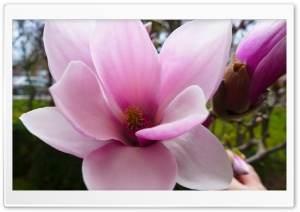 Magnolia Tree HD Wide Wallpaper for Widescreen