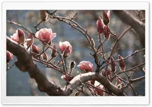 Magnolia Tree at Spring HD Wide Wallpaper for 4K UHD Widescreen desktop & smartphone