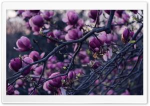 Magnolia Tree Pink Flowers Ultra HD Wallpaper for 4K UHD Widescreen desktop, tablet & smartphone
