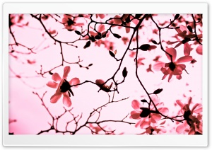 Magnolia Twigs HD Wide Wallpaper for Widescreen