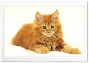 Maine Coon Cat HD Wide Wallpaper for Widescreen