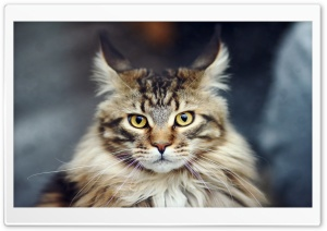 Maine Coon Cat Portrait HD Wide Wallpaper for 4K UHD Widescreen desktop & smartphone