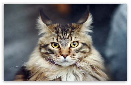 Maine Coon Cat Portrait ❤ 4K UHD Wallpaper for Wide 16:10 5:3 Widescreen WHXGA WQXGA WUXGA WXGA WGA ; 4K UHD 16:9 Ultra High Definition 2160p 1440p 1080p 900p 720p ; Standard 4:3 5:4 3:2 Fullscreen UXGA XGA SVGA QSXGA SXGA DVGA HVGA HQVGA ( Apple PowerBook G4 iPhone 4 3G 3GS iPod Touch ) ; Smartphone 16:9 3:2 5:3 2160p 1440p 1080p 900p 720p DVGA HVGA HQVGA ( Apple PowerBook G4 iPhone 4 3G 3GS iPod Touch ) WGA ; Tablet 1:1 ; iPad 1/2/Mini ; Mobile 4:3 5:3 3:2 16:9 5:4 - UXGA XGA SVGA WGA DVGA HVGA HQVGA ( Apple PowerBook G4 iPhone 4 3G 3GS iPod Touch ) 2160p 1440p 1080p 900p 720p QSXGA SXGA ;