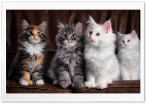 Maine Coon Kittens HD Wide Wallpaper for 4K UHD Widescreen desktop & smartphone