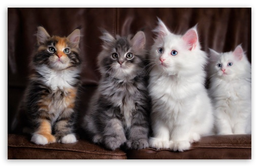 Maine Coon Kittens ❤ 4K UHD Wallpaper for Wide 16:10 5:3 Widescreen WHXGA WQXGA WUXGA WXGA WGA ; 4K UHD 16:9 Ultra High Definition 2160p 1440p 1080p 900p 720p ; Standard 4:3 5:4 3:2 Fullscreen UXGA XGA SVGA QSXGA SXGA DVGA HVGA HQVGA ( Apple PowerBook G4 iPhone 4 3G 3GS iPod Touch ) ; Tablet 1:1 ; iPad 1/2/Mini ; Mobile 4:3 5:3 3:2 16:9 5:4 - UXGA XGA SVGA WGA DVGA HVGA HQVGA ( Apple PowerBook G4 iPhone 4 3G 3GS iPod Touch ) 2160p 1440p 1080p 900p 720p QSXGA SXGA ;