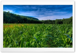 Maize Field HD Wide Wallpaper for Widescreen