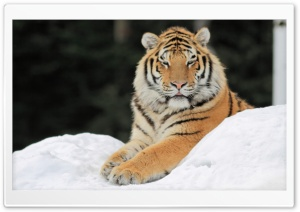 Majestic Tiger HD Wide Wallpaper for Widescreen