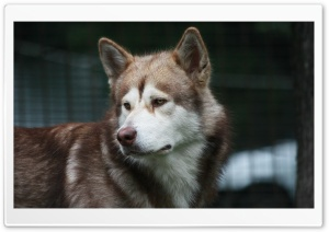 Malamute HD Wide Wallpaper for Widescreen