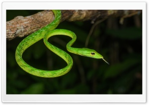 Malayan Green Vine WhipSnake Ultra HD Wallpaper for 4K UHD Widescreen desktop, tablet & smartphone