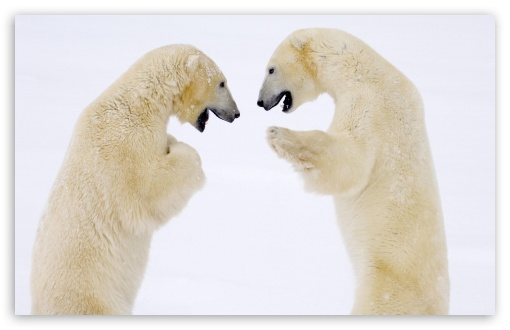 Male Bears Sparring Hudson Bay Manitoba Canada HD wallpaper for Wide 16:10 5:3 Widescreen WHXGA WQXGA WUXGA WXGA WGA ; HD 16:9 High Definition WQHD QWXGA 1080p 900p 720p QHD nHD ; Standard 4:3 3:2 Fullscreen UXGA XGA SVGA DVGA HVGA HQVGA devices ( Apple PowerBook G4 iPhone 4 3G 3GS iPod Touch ) ; iPad 1/2/Mini ; Mobile 4:3 5:3 3:2 16:9 - UXGA XGA SVGA WGA DVGA HVGA HQVGA devices ( Apple PowerBook G4 iPhone 4 3G 3GS iPod Touch ) WQHD QWXGA 1080p 900p 720p QHD nHD ;
