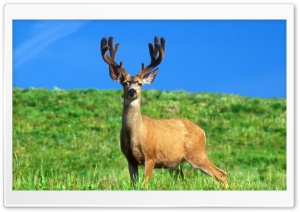 Male Deer HD Wide Wallpaper for Widescreen