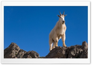 Male Goat Up On Rocks HD Wide Wallpaper for Widescreen