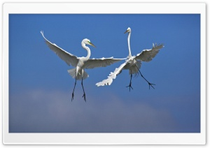 Male Great Egrets Fighting In Flight Venice Florida HD Wide Wallpaper for 4K UHD Widescreen desktop & smartphone