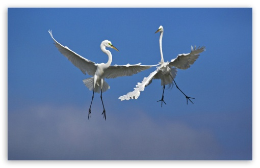 Male Great Egrets Fighting In Flight Venice Florida HD wallpaper for Wide 16:10 5:3 Widescreen WHXGA WQXGA WUXGA WXGA WGA ; HD 16:9 High Definition WQHD QWXGA 1080p 900p 720p QHD nHD ; Standard 4:3 5:4 3:2 Fullscreen UXGA XGA SVGA QSXGA SXGA DVGA HVGA HQVGA devices ( Apple PowerBook G4 iPhone 4 3G 3GS iPod Touch ) ; Tablet 1:1 ; iPad 1/2/Mini ; Mobile 4:3 5:3 3:2 16:9 5:4 - UXGA XGA SVGA WGA DVGA HVGA HQVGA devices ( Apple PowerBook G4 iPhone 4 3G 3GS iPod Touch ) WQHD QWXGA 1080p 900p 720p QHD nHD QSXGA SXGA ;