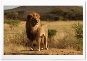 Male Lion HD Wide Wallpaper for Widescreen