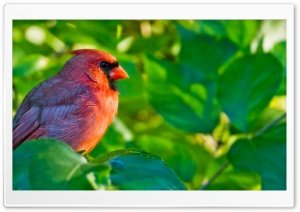 Male Northern Cardinal HD Wide Wallpaper for Widescreen