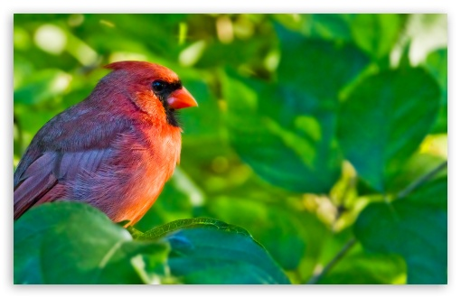 Male Northern Cardinal UltraHD Wallpaper for Wide 16:10 5:3 Widescreen WHXGA WQXGA WUXGA WXGA WGA ; 8K UHD TV 16:9 Ultra High Definition 2160p 1440p 1080p 900p 720p ; Standard 4:3 5:4 3:2 Fullscreen UXGA XGA SVGA QSXGA SXGA DVGA HVGA HQVGA ( Apple PowerBook G4 iPhone 4 3G 3GS iPod Touch ) ; Tablet 1:1 ; iPad 1/2/Mini ; Mobile 4:3 5:3 3:2 16:9 5:4 - UXGA XGA SVGA WGA DVGA HVGA HQVGA ( Apple PowerBook G4 iPhone 4 3G 3GS iPod Touch ) 2160p 1440p 1080p 900p 720p QSXGA SXGA ;