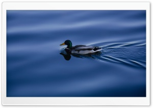 Mallard Duck HD Wide Wallpaper for Widescreen