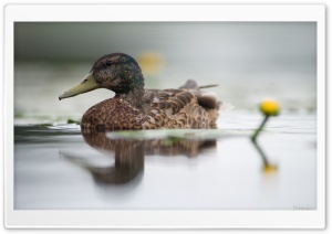 Mallard Duck And Water Lily Flower HD Wide Wallpaper for Widescreen