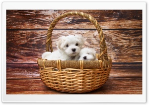 Maltese Puppies HD Wide Wallpaper for 4K UHD Widescreen desktop & smartphone