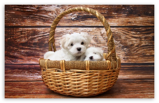 Maltese Puppies ❤ 4K UHD Wallpaper for Wide 16:10 5:3 Widescreen WHXGA WQXGA WUXGA WXGA WGA ; 4K UHD 16:9 Ultra High Definition 2160p 1440p 1080p 900p 720p ; UHD 16:9 2160p 1440p 1080p 900p 720p ; Standard 4:3 5:4 3:2 Fullscreen UXGA XGA SVGA QSXGA SXGA DVGA HVGA HQVGA ( Apple PowerBook G4 iPhone 4 3G 3GS iPod Touch ) ; Smartphone 5:3 WGA ; Tablet 1:1 ; iPad 1/2/Mini ; Mobile 4:3 5:3 3:2 16:9 5:4 - UXGA XGA SVGA WGA DVGA HVGA HQVGA ( Apple PowerBook G4 iPhone 4 3G 3GS iPod Touch ) 2160p 1440p 1080p 900p 720p QSXGA SXGA ;