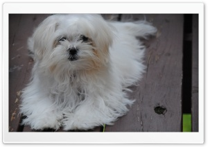 Maltese Puppy HD Wide Wallpaper for Widescreen