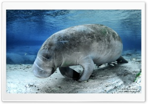 Manatee HD Wide Wallpaper for 4K UHD Widescreen desktop & smartphone