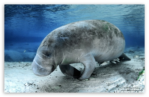 Manatee ❤ 4K UHD Wallpaper for Wide 16:10 5:3 Widescreen WHXGA WQXGA WUXGA WXGA WGA ; 4K UHD 16:9 Ultra High Definition 2160p 1440p 1080p 900p 720p ; UHD 16:9 2160p 1440p 1080p 900p 720p ; Standard 4:3 5:4 3:2 Fullscreen UXGA XGA SVGA QSXGA SXGA DVGA HVGA HQVGA ( Apple PowerBook G4 iPhone 4 3G 3GS iPod Touch ) ; iPad 1/2/Mini ; Mobile 4:3 5:3 3:2 5:4 - UXGA XGA SVGA WGA DVGA HVGA HQVGA ( Apple PowerBook G4 iPhone 4 3G 3GS iPod Touch ) QSXGA SXGA ;