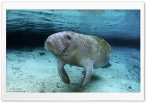 Manatee Swimming HD Wide Wallpaper for Widescreen