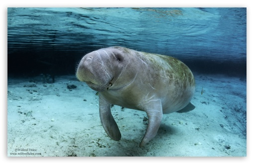 Manatee Swimming ❤ 4K UHD Wallpaper for Wide 16:10 5:3 Widescreen WHXGA WQXGA WUXGA WXGA WGA ; 4K UHD 16:9 Ultra High Definition 2160p 1440p 1080p 900p 720p ; UHD 16:9 2160p 1440p 1080p 900p 720p ; Standard 4:3 5:4 3:2 Fullscreen UXGA XGA SVGA QSXGA SXGA DVGA HVGA HQVGA ( Apple PowerBook G4 iPhone 4 3G 3GS iPod Touch ) ; iPad 1/2/Mini ; Mobile 4:3 5:3 3:2 16:9 5:4 - UXGA XGA SVGA WGA DVGA HVGA HQVGA ( Apple PowerBook G4 iPhone 4 3G 3GS iPod Touch ) 2160p 1440p 1080p 900p 720p QSXGA SXGA ;