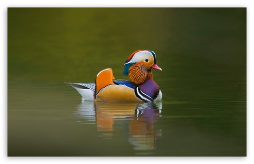 Mandarin Duck ❤ 4K UHD Wallpaper for Wide 16:10 5:3 Widescreen WHXGA WQXGA WUXGA WXGA WGA ; 4K UHD 16:9 Ultra High Definition 2160p 1440p 1080p 900p 720p ; Standard 4:3 5:4 3:2 Fullscreen UXGA XGA SVGA QSXGA SXGA DVGA HVGA HQVGA ( Apple PowerBook G4 iPhone 4 3G 3GS iPod Touch ) ; Tablet 1:1 ; iPad 1/2/Mini ; Mobile 4:3 5:3 3:2 16:9 5:4 - UXGA XGA SVGA WGA DVGA HVGA HQVGA ( Apple PowerBook G4 iPhone 4 3G 3GS iPod Touch ) 2160p 1440p 1080p 900p 720p QSXGA SXGA ;