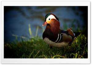 Mandarin Duck HD Wide Wallpaper for Widescreen