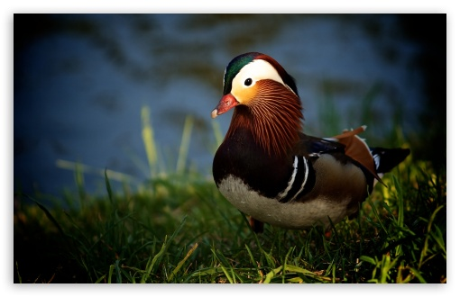 Mandarin Duck HD wallpaper for Wide 16:10 5:3 Widescreen WHXGA WQXGA WUXGA WXGA WGA ; HD 16:9 High Definition WQHD QWXGA 1080p 900p 720p QHD nHD ; Standard 4:3 5:4 3:2 Fullscreen UXGA XGA SVGA QSXGA SXGA DVGA HVGA HQVGA devices ( Apple PowerBook G4 iPhone 4 3G 3GS iPod Touch ) ; Tablet 1:1 ; iPad 1/2/Mini ; Mobile 4:3 5:3 3:2 16:9 5:4 - UXGA XGA SVGA WGA DVGA HVGA HQVGA devices ( Apple PowerBook G4 iPhone 4 3G 3GS iPod Touch ) WQHD QWXGA 1080p 900p 720p QHD nHD QSXGA SXGA ;