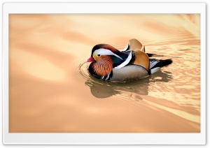 Mandarin Duck Male HD Wide Wallpaper for Widescreen