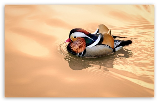 Mandarin Duck Male ❤ 4K UHD Wallpaper for Wide 16:10 5:3 Widescreen WHXGA WQXGA WUXGA WXGA WGA ; UltraWide 21:9 24:10 ; 4K UHD 16:9 Ultra High Definition 2160p 1440p 1080p 900p 720p ; UHD 16:9 2160p 1440p 1080p 900p 720p ; Standard 4:3 5:4 3:2 Fullscreen UXGA XGA SVGA QSXGA SXGA DVGA HVGA HQVGA ( Apple PowerBook G4 iPhone 4 3G 3GS iPod Touch ) ; Smartphone 16:9 3:2 5:3 2160p 1440p 1080p 900p 720p DVGA HVGA HQVGA ( Apple PowerBook G4 iPhone 4 3G 3GS iPod Touch ) WGA ; Tablet 1:1 ; iPad 1/2/Mini ; Mobile 4:3 5:3 3:2 16:9 5:4 - UXGA XGA SVGA WGA DVGA HVGA HQVGA ( Apple PowerBook G4 iPhone 4 3G 3GS iPod Touch ) 2160p 1440p 1080p 900p 720p QSXGA SXGA ; Dual 16:10 5:3 16:9 4:3 5:4 3:2 WHXGA WQXGA WUXGA WXGA WGA 2160p 1440p 1080p 900p 720p UXGA XGA SVGA QSXGA SXGA DVGA HVGA HQVGA ( Apple PowerBook G4 iPhone 4 3G 3GS iPod Touch ) ; Triple 16:10 5:3 16:9 4:3 5:4 3:2 WHXGA WQXGA WUXGA WXGA WGA 2160p 1440p 1080p 900p 720p UXGA XGA SVGA QSXGA SXGA DVGA HVGA HQVGA ( Apple PowerBook G4 iPhone 4 3G 3GS iPod Touch ) ;