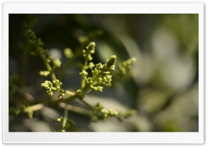 Mango Flower HD Wide Wallpaper for Widescreen