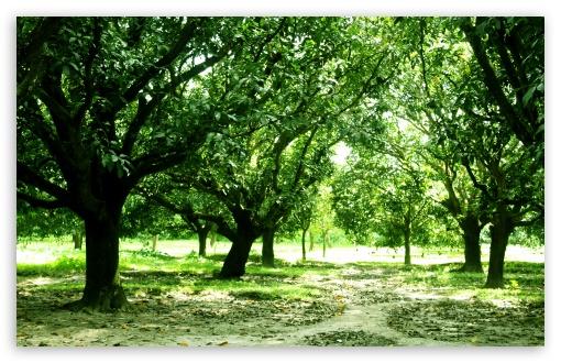 Mango Trees 4K HD Desktop Wallpaper For • Wide & Ultra