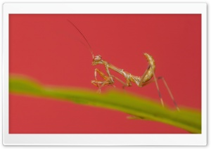 Mantis HD Wide Wallpaper for Widescreen