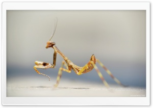 Mantis Ultra HD Wallpaper for 4K UHD Widescreen desktop, tablet & smartphone