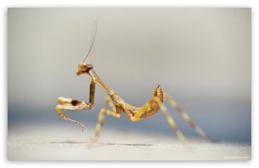 Mantis ❤ 4K UHD Wallpaper for Wide 16:10 5:3 Widescreen WHXGA WQXGA WUXGA WXGA WGA ; 4K UHD 16:9 Ultra High Definition 2160p 1440p 1080p 900p 720p ; Standard 4:3 3:2 Fullscreen UXGA XGA SVGA DVGA HVGA HQVGA ( Apple PowerBook G4 iPhone 4 3G 3GS iPod Touch ) ; Tablet 1:1 ; iPad 1/2/Mini ; Mobile 4:3 5:3 3:2 16:9 - UXGA XGA SVGA WGA DVGA HVGA HQVGA ( Apple PowerBook G4 iPhone 4 3G 3GS iPod Touch ) 2160p 1440p 1080p 900p 720p ;