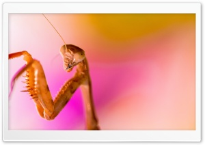 Mantis HD Wide Wallpaper for 4K UHD Widescreen desktop & smartphone