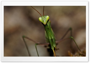 Mantis Macro HD Wide Wallpaper for Widescreen