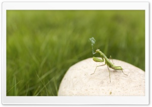 Mantis Smoking HD Wide Wallpaper for 4K UHD Widescreen desktop & smartphone